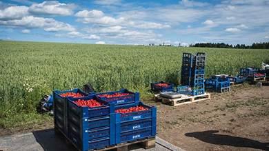 الصناديق المليئة بالفراولة جاهزة للتحميل على متن الشاحنة