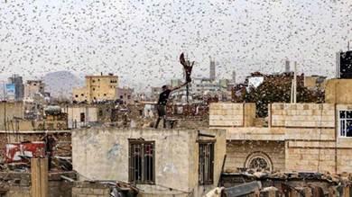 """الجراد يفتك بمحاصيل اليمن.. والحوريات الصغيرة """"الخطر الأكبر"""""""