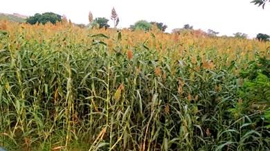 بعد غياب دام لعقود مزارع يعيد زراعة الذرة بلحج