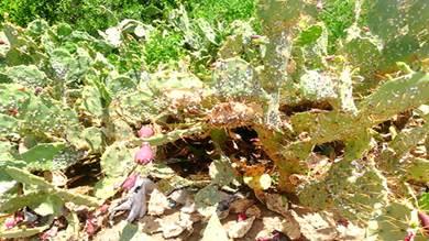 الحشرة الغازية تقضي على نبات التين الشوكي بطور الباحة لحج